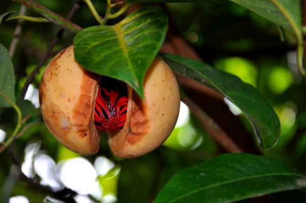 Lợi ích sức khỏe của hạt nhục đậu khấu là phụ nữ nhất định phải biết - Ảnh 1.