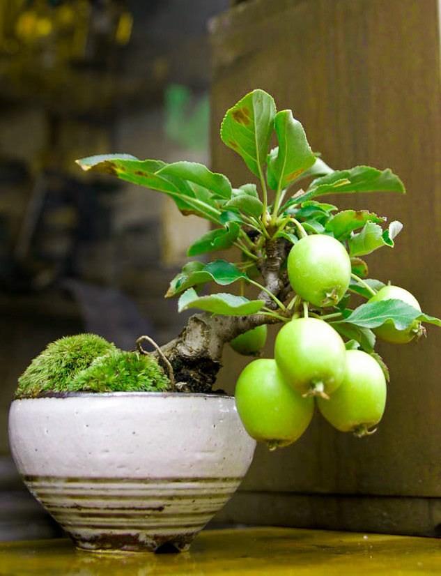 10 chậu bonsai cây ăn trái mini siêu đẹp dùng trang trí nhà dịp Tết - Ảnh 8.