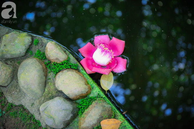 Ghé Huế, vào chùa Thiên Mụ 400 năm tuổi ngắm những đóa sala - hoa của sự yên lành - Ảnh 1.
