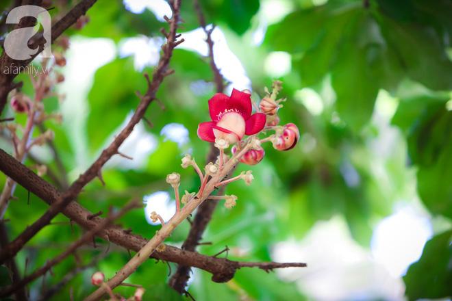 Ghé Huế, vào chùa Thiên Mụ 400 năm tuổi ngắm những đóa sala - hoa của sự yên lành - ảnh 3