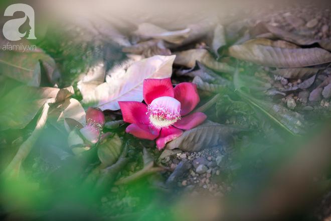 Ghé Huế, vào chùa Thiên Mụ 400 năm tuổi ngắm những đóa sala - hoa của sự yên lành - ảnh 12