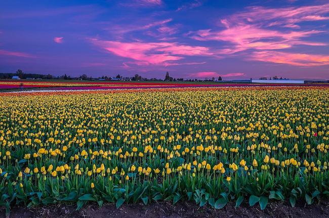 6 khu vườn hoa tulip chỉ nhìn thôi cũng khiến người ta ngất ngây bởi quá đẹp, quá rực rỡ - Ảnh 19.