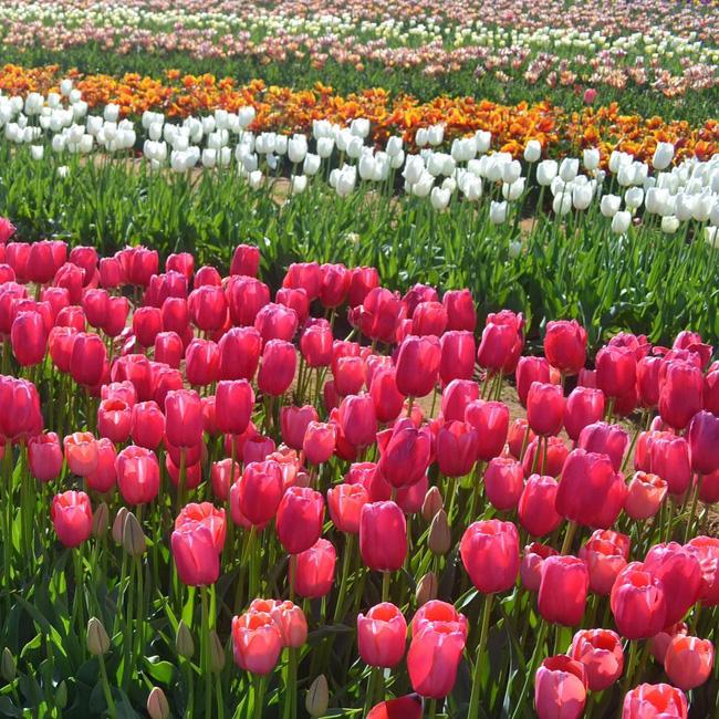 6 khu vườn hoa tulip chỉ nhìn thôi cũng khiến người ta ngất ngây bởi quá đẹp, quá rực rỡ - Ảnh 12.