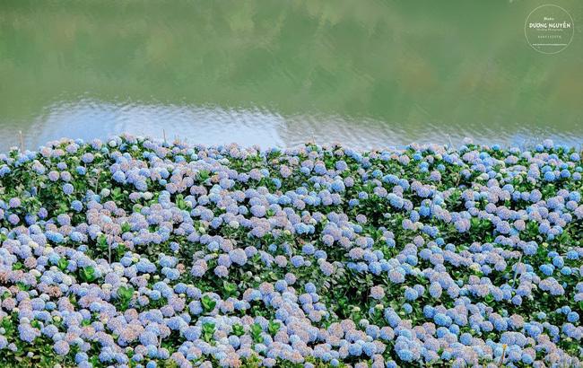 Đến Đà Lạt ghé cánh đồng hoa cẩm tú cầu đẹp như trời Tây
