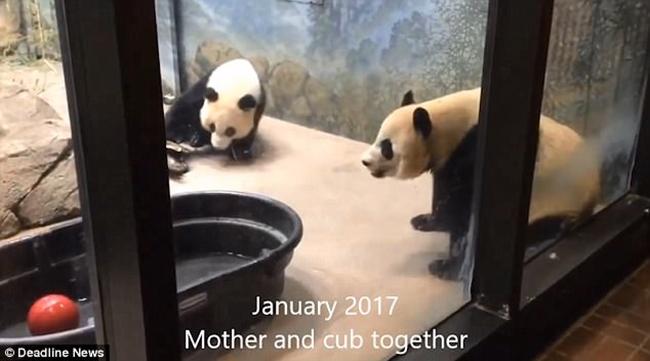 Cảnh tượng gấu trúc mẹ cào tường tìm con mới cai sữa khiến nhiều người không khỏi xót xa 1