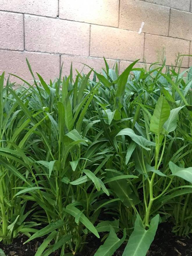 Cận cảnh khu vườn có nhiều loại rau củ Việt của hoa hậu Dương Mỹ Linh trên đất Mỹ - Ảnh 6.