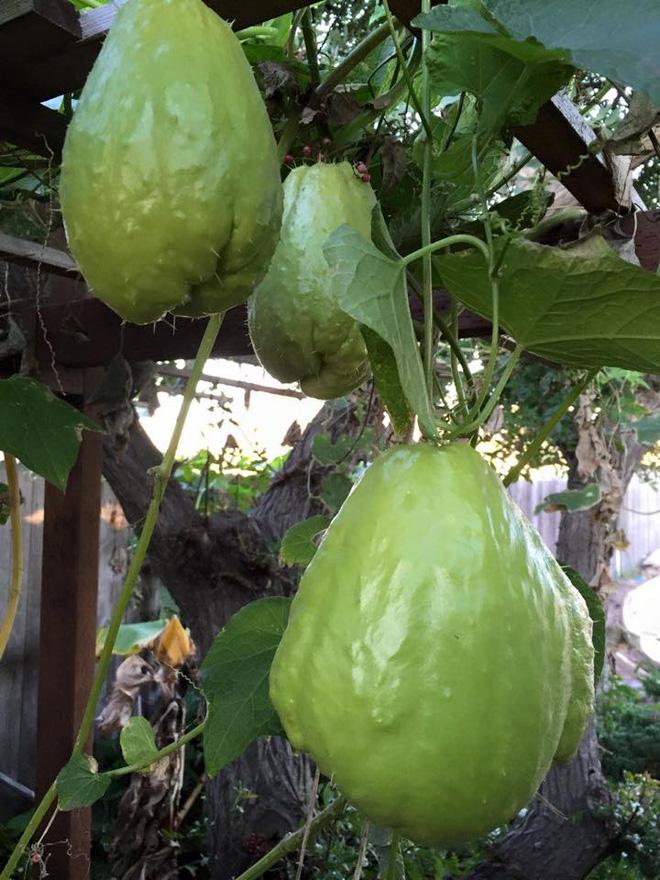 Cận cảnh khu vườn có nhiều loại rau củ Việt của hoa hậu Dương Mỹ Linh trên đất Mỹ - Ảnh 13.
