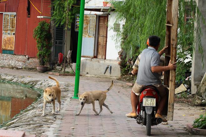 Hà Nội: Chó vẫn thả rông, không rọ mõm trước ngày luật bắt chó có hiệu lực - Ảnh 1.