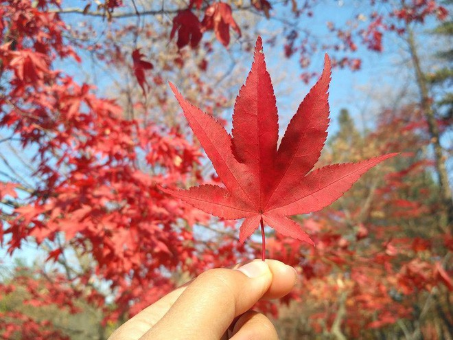 Mùa cưới đến rồi, bỏ túi ngay những địa chỉ chụp ảnh đẹp mê ly với lá vàng, lá đỏ này thôi - Ảnh 4.