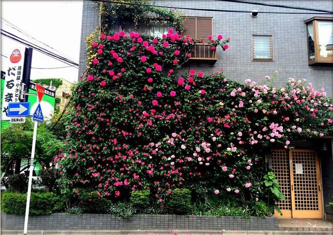 3 vườn hồng đẹp như mơ khiến độc giả tâm đắc tặng ngàn like trong năm 2017 - Ảnh 15.