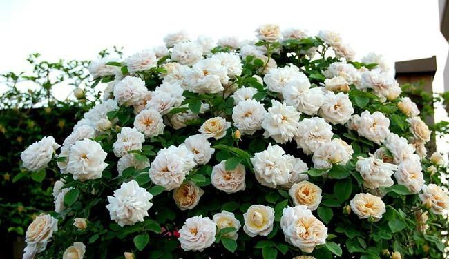3 vườn hồng đẹp như mơ khiến độc giả tâm đắc tặng ngàn like trong năm 2017 - Ảnh 22.