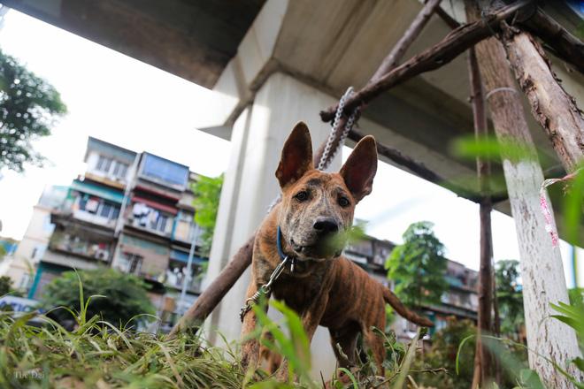 Hà Nội: Chó vẫn thả rông, không rọ mõm trước ngày luật bắt chó có hiệu lực - Ảnh 12.