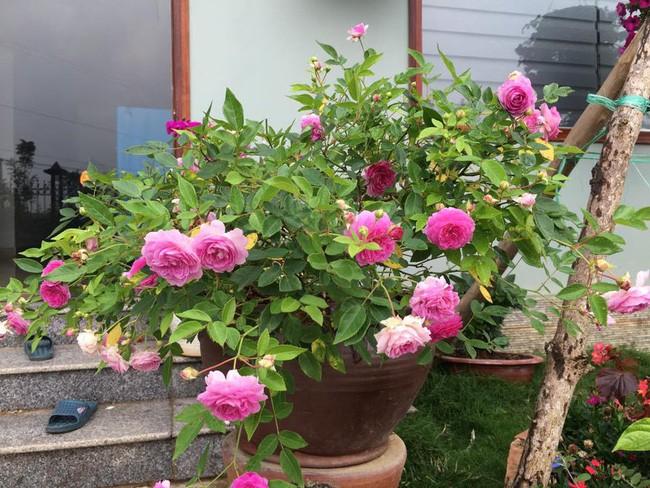 3 vườn hồng đẹp như mơ khiến độc giả tâm đắc tặng ngàn like trong năm 2017 - Ảnh 9.