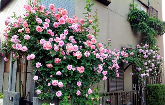 3 vườn hồng đẹp như mơ khiến độc giả tâm đắc tặng ngàn like trong năm 2017 - Ảnh 16.