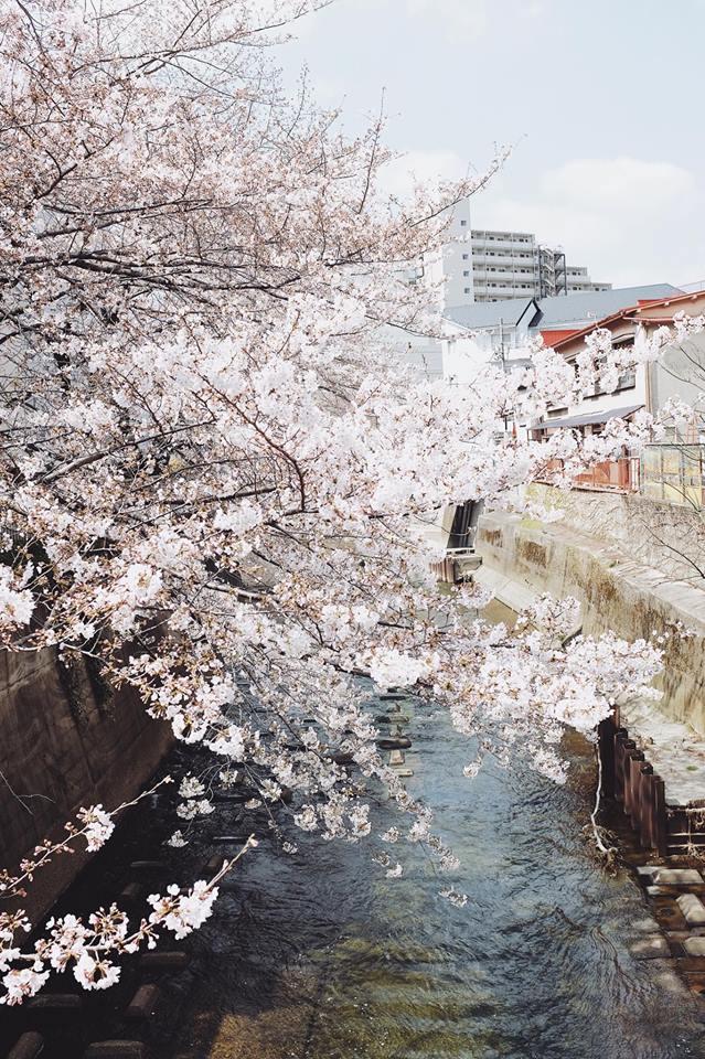 Ra đây mà xem người ta kéo nhau sang Nhật ngắm hoa anh đào hết rồi! - Ảnh 5.