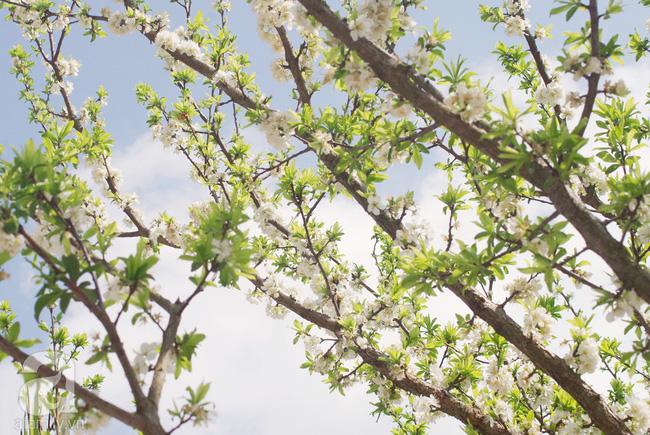 Ngẩn ngơ ngắm sắc trắng, sắc hồng của hoa mận, hoa đào ở Hà Giang - Ảnh 9.