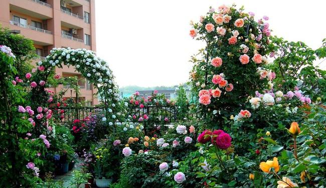 3 vườn hồng đẹp như mơ khiến độc giả tâm đắc tặng ngàn like trong năm 2017 - Ảnh 19.