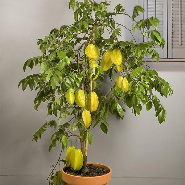10 chậu bonsai cây ăn trái mini siêu đẹp dùng trang trí nhà dịp Tết - Ảnh 6.