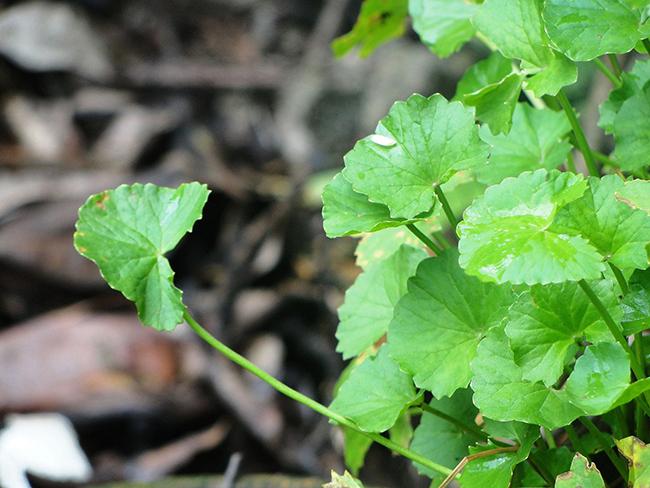 Những kiểu uống nước rau má mùa hè giải nhiệt sai cách có thể khiến bạn mất mạng - Ảnh 4.