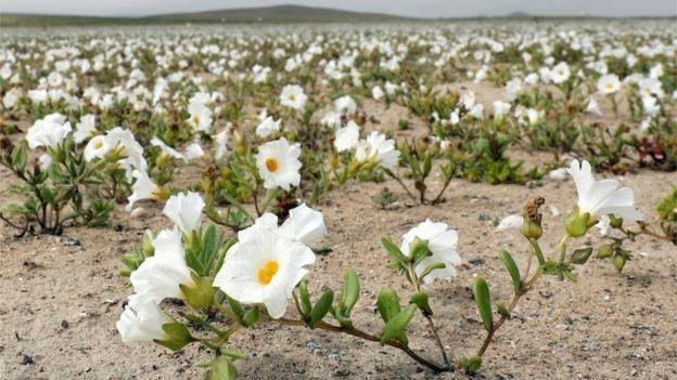 Hiện tượng kỳ lạ: Muôn hoa đua nở rực rỡ sắc màu ở sa mạc khô cằn nhất thế giới - Ảnh 12.