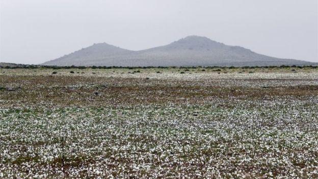 Hiện tượng kỳ lạ: Muôn hoa đua nở rực rỡ sắc màu ở sa mạc khô cằn nhất thế giới - Ảnh 11.