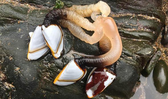 Đi dạo trên bãi biển, cô gái sửng sốt phát hiện hàng loạt sinh vật lạ bám kín tảng đá - Ảnh 7.