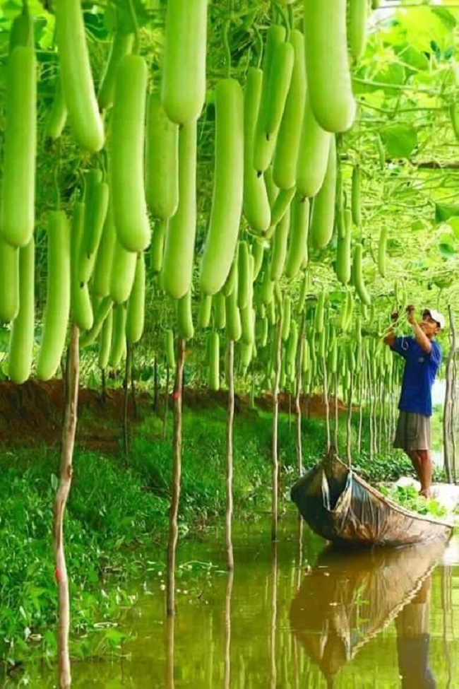 Mãn nhãn với những vườn cây cho ra trái trĩu trịt tưởng chỉ có trong mơ - Ảnh 4.