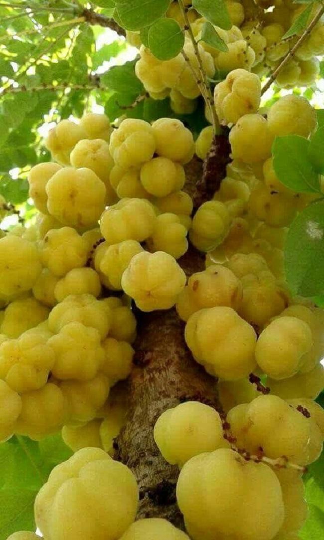 Mãn nhãn với những vườn cây cho ra trái trĩu trịt tưởng chỉ có trong mơ - Ảnh 10.
