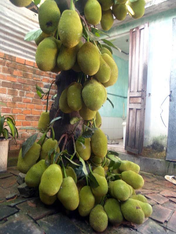 Mãn nhãn với những vườn cây cho ra trái trĩu trịt tưởng chỉ có trong mơ - Ảnh 24.