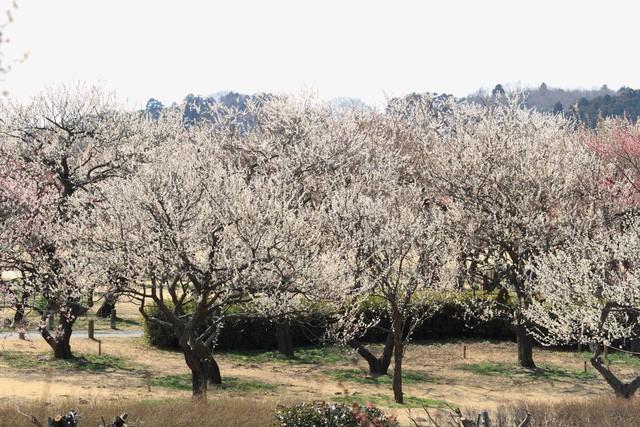 """""""Theo dấu"""" hoa anh đào nhật bản chỉ từ 23 triệu tại ngày hội Fukushima - Ảnh 3."""