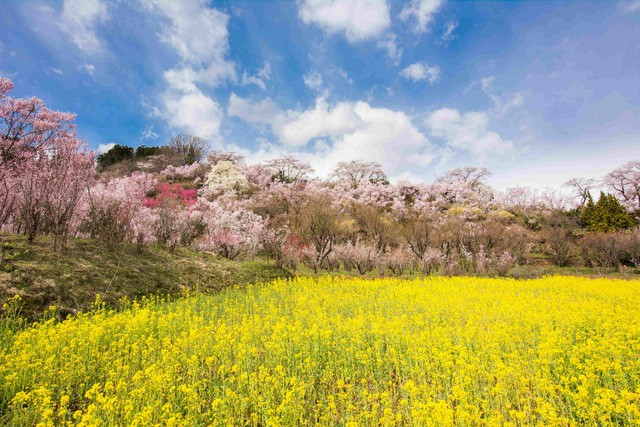 """""""Theo dấu"""" hoa anh đào nhật bản chỉ từ 23 triệu tại ngày hội Fukushima - Ảnh 4."""