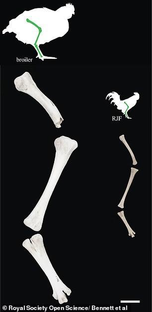 Bi hài kịch: Hàng triệu năm nữa, người đời sau sẽ hiểu rằng Trái đất đang bị thống trị bởi... loài gà - Ảnh 3.