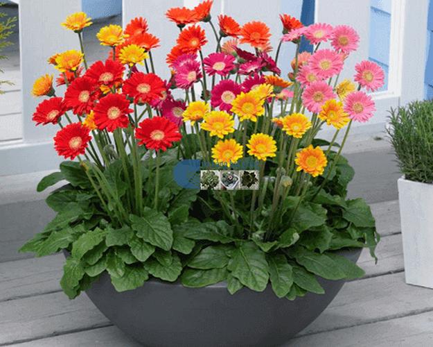 Các loại hoa ngày Tết mang lại may mắn và hạnh phúc cho gia chủ - Ảnh 5.