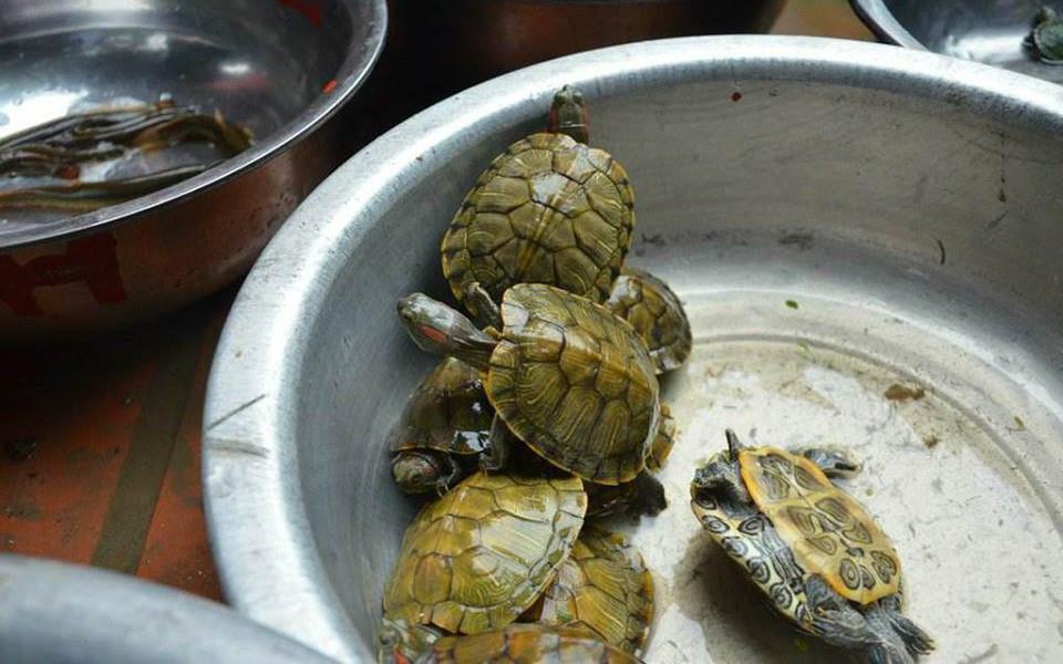 Rùa tai đỏ bày bán ở lễ hội chùa Hương để người dân mua phóng sinh