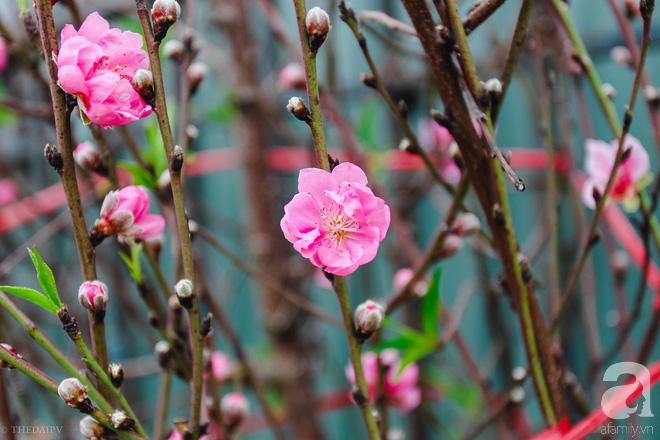 Hoa đào như những áng mây xa, nhuộm hồng từng khoảng trời Hà Nội - Ảnh 11.