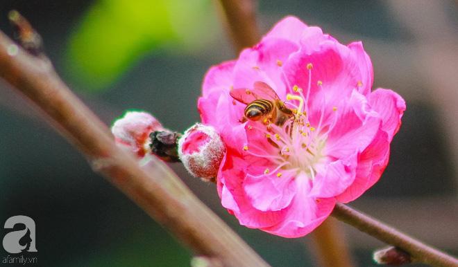 Hoa đào như những áng mây xa, nhuộm hồng từng khoảng trời Hà Nội - Ảnh 12.