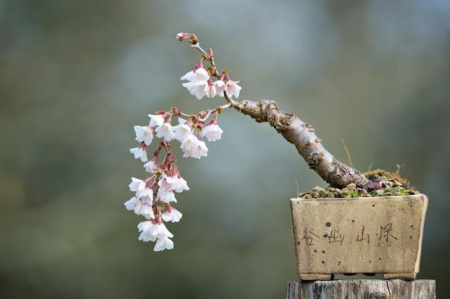 Ngất ngây với 15 chậu hoa bonsai mini siêu đẹp để trang trí nhà dịp Tết - Ảnh 7.