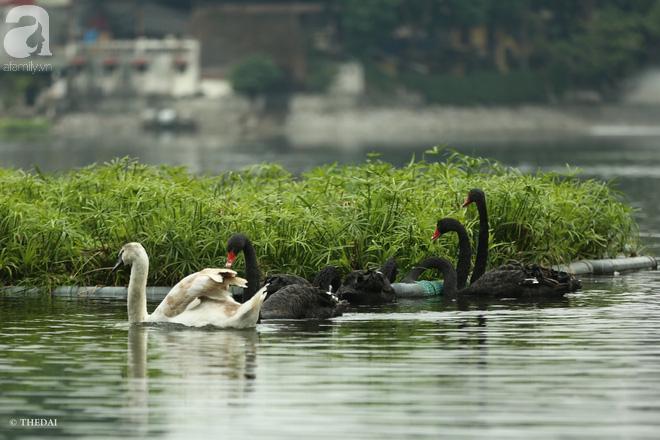 Thông tin về một cá thể thiên nga đen tại hồ Thiền Quang bị mất tích nhiều ngày qua - ảnh 1