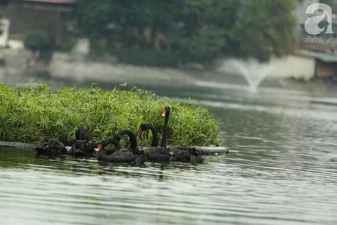 Thông tin về một cá thể thiên nga đen tại hồ Thiền Quang bị mất tích nhiều ngày qua - ảnh 2