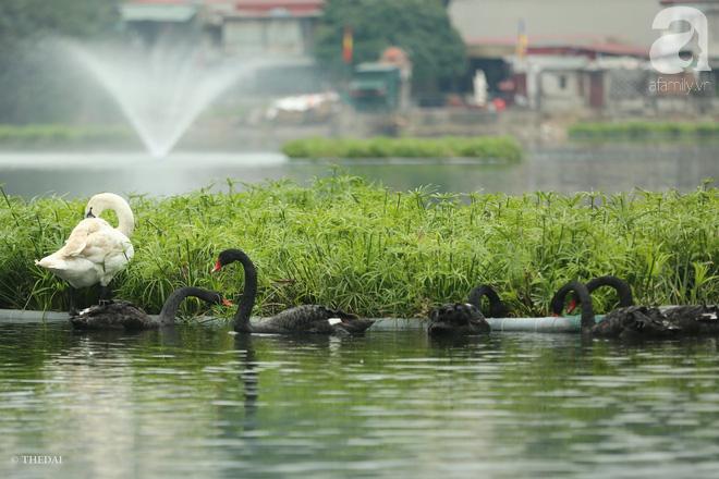 Thông tin về một cá thể thiên nga đen tại hồ Thiền Quang bị mất tích nhiều ngày qua - ảnh 4