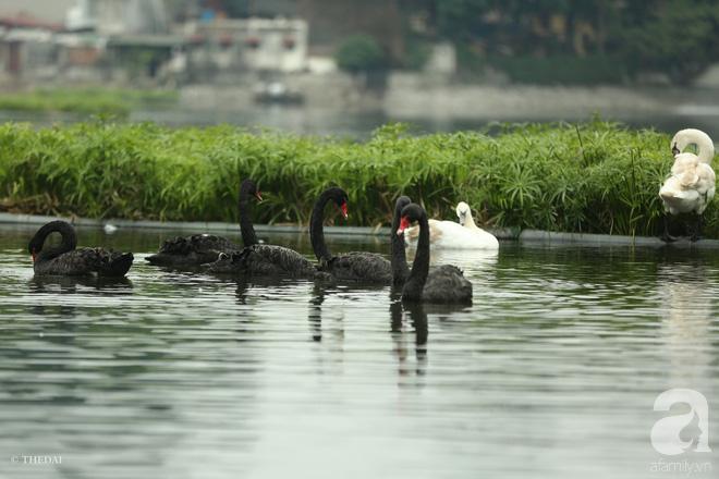 Thông tin về một cá thể thiên nga đen tại hồ Thiền Quang bị mất tích nhiều ngày qua - ảnh 5