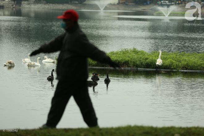 Thông tin về một cá thể thiên nga đen tại hồ Thiền Quang bị mất tích nhiều ngày qua - ảnh 6