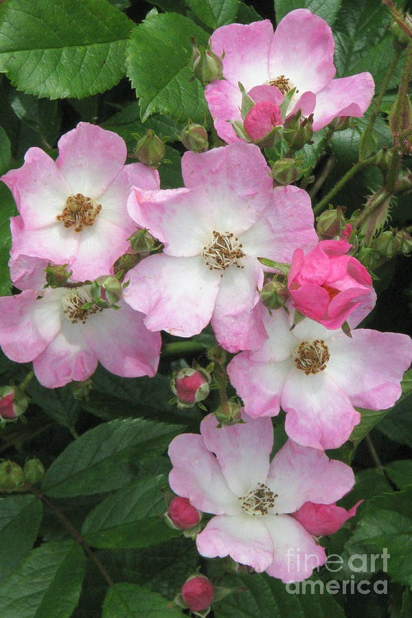 7 loài hoa hồng leo đẹp như những vũ công quyến rũ nên có mặt trong vườn của bạn - Ảnh 21.