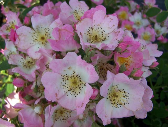 7 loài hoa hồng leo đẹp như những vũ công quyến rũ nên có mặt trong vườn của bạn - Ảnh 18.