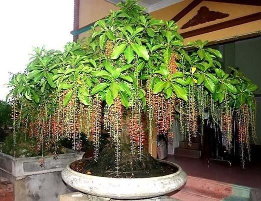 Có 1 loại cây phong thủy trong nhà vừa nhiều tài lộc, may mắn, vừa ngắm, vừa ăn - Ảnh 2.