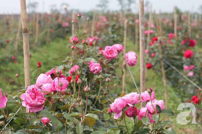 Ngắm khu vườn hoa hồng rộng đến 3 ha đẹp ngất ngây đã giúp cô gái 27 tuổi thoát khỏi bệnh trầm cảm ở Hà Nội - Ảnh 3.