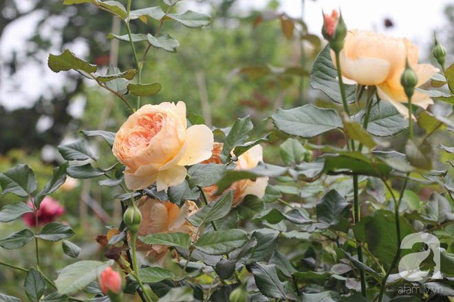 Ngắm khu vườn hoa hồng rộng đến 3 ha đẹp ngất ngây đã giúp cô gái 27 tuổi thoát khỏi bệnh trầm cảm ở Hà Nội - Ảnh 6.