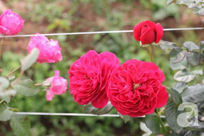 Ngắm khu vườn hoa hồng rộng đến 3 ha đẹp ngất ngây đã giúp cô gái 27 tuổi thoát khỏi bệnh trầm cảm ở Hà Nội - Ảnh 10.