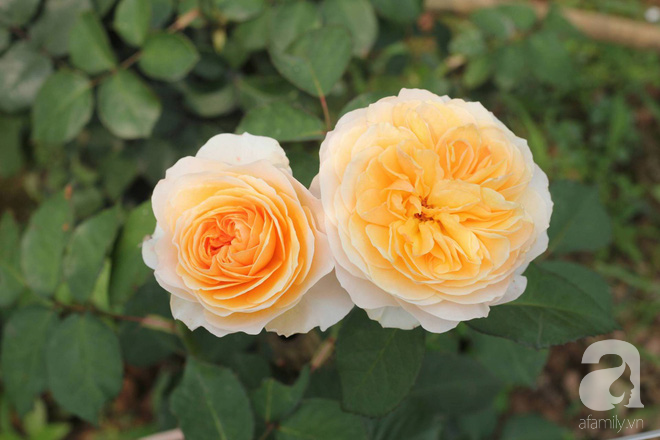 Ngắm khu vườn hoa hồng rộng đến 3 ha đẹp ngất ngây đã giúp cô gái 27 tuổi thoát khỏi bệnh trầm cảm ở Hà Nội - Ảnh 11.