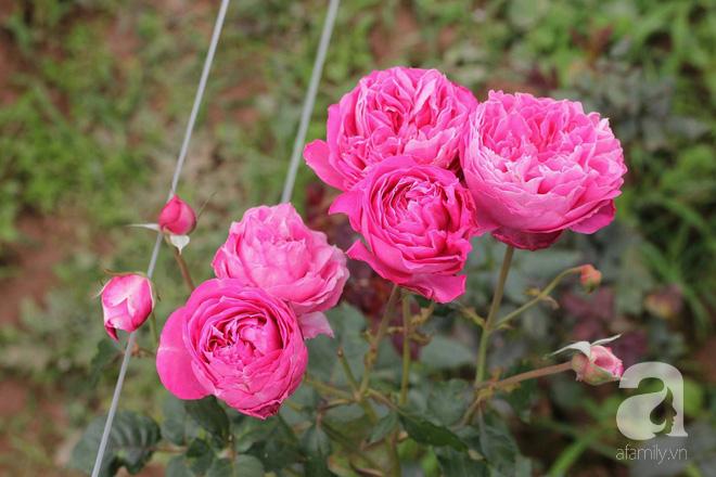 Ngắm khu vườn hoa hồng rộng đến 3 ha đẹp ngất ngây đã giúp cô gái 27 tuổi thoát khỏi bệnh trầm cảm ở Hà Nội - Ảnh 14.